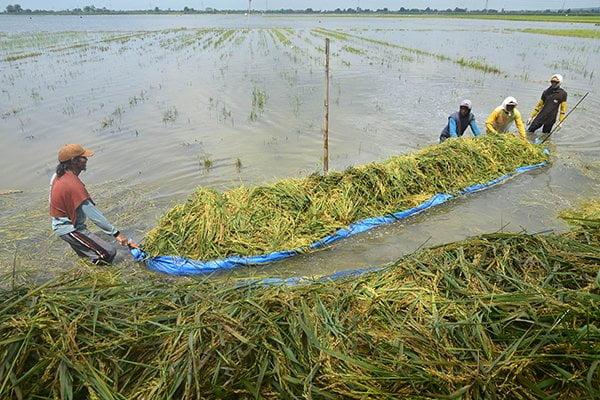 Sungai Meluap Ribuan Hektare Sawah di Karawang Terendam Banjir